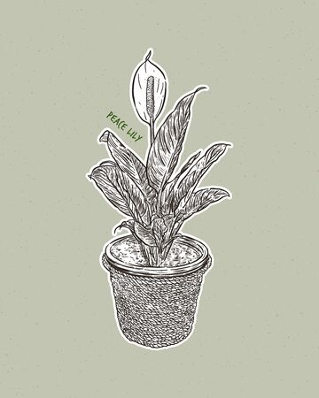 Peace lily, Spathiphyllum is a genus of about 47 species of monocotyledonous flowering plants in the family Araceae, native to tropical regions of the Americas and southeastern Asia. Certain species of Spathiphyllum are commonly known as spath or peace lilies. Hand draw sketch vector.