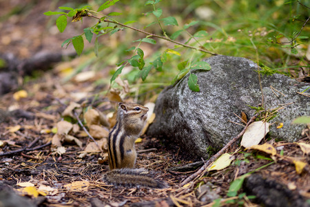 a Chipmunk eats a nut in a forest in the taiga. Stock Photo