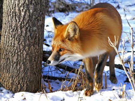 Red fox by a tree. Watchful look. Winter and snow. Sunny evening.  Russian Far East, Primorsky Region.