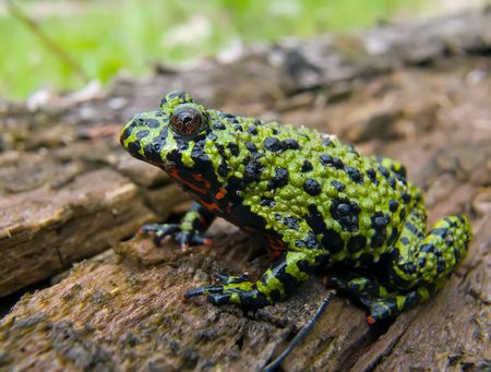 Close-up of a far-eastern fire-bellied toad (Bombina orientalis) on a old log. Profile. Russian Far East, Primorsky Region. Stock Photo