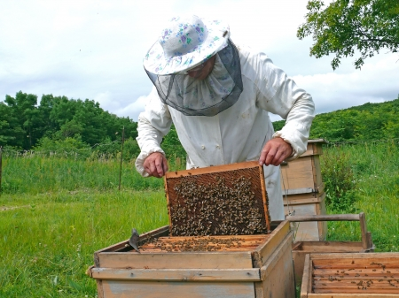 A beekeeper in veil at apiary among hives. Summer, sunny day. Russian Far East, Primorye.