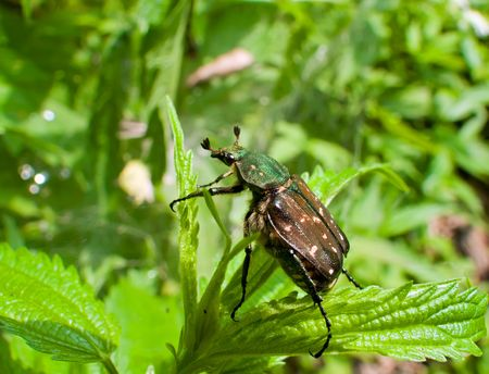 A close-up of a big beetle on grass. Russian Far East, Primorye. Stock Photo