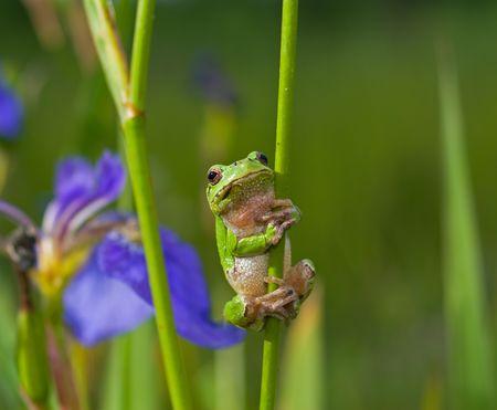 anura: A close-up de una rana Hyla (Hyla japonica) en haulm de iris. Extremo Oriente ruso, Primorye.