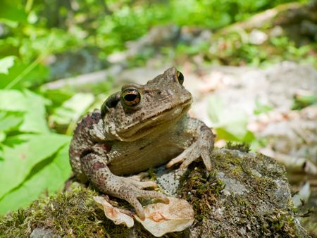 A close up of a toad (Bufo gargarizans) on stones with moss.  Russian Far East, Primorsky Region.            Stock Photo