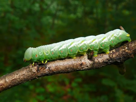 A close-up of the green caterpillar on rod. Russian Far East, Primorye. Stock Photo