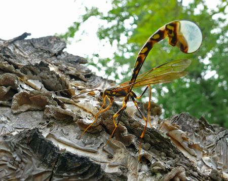 A close-up of the big ichneumon fly depositing eggs on tree. Russian Far East, Primorye. Фото со стока