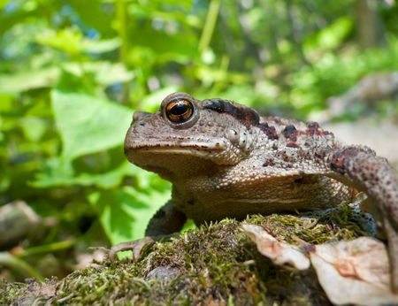 A close up of a toad (Bufo gargarizans) on stones with moss. Profile.  Russian Far East, Primorsky Region.            photo