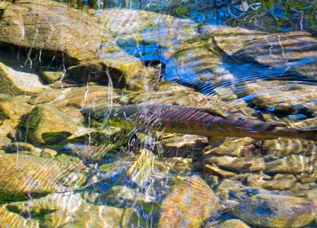 The  masu (chrry) salmon (Oncorhynchus masou) in water of small river during a spawing. September. Russian Far East, Primorye.  photo