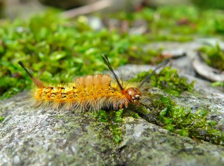 the far east: A close-up of the very haired yellow caterpillar on grass-blade. Russian Far East, Primorye.