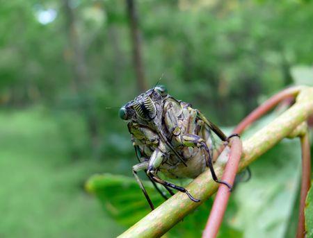 crick: A close-up di una cicala (Tibicen bichamatus) sulla verga. A sud di Estremo Oriente russo, Primorye.