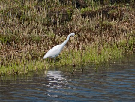 The great white egret (Egretta alba) stands at a water. Russian Far East, Primorsky region. photo