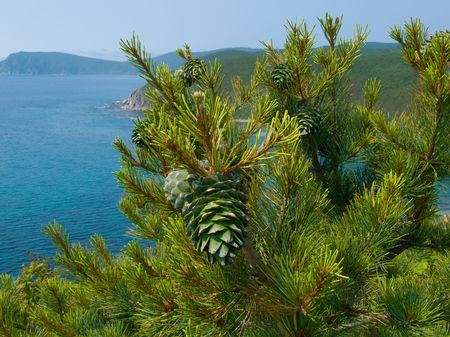 seacoast: A close-up of a branch with green huge cones above sea. Cedrine pine (Pinus coraiensis). On background are seawater and capes. Russian Far Easr, Primorye. Stock Photo