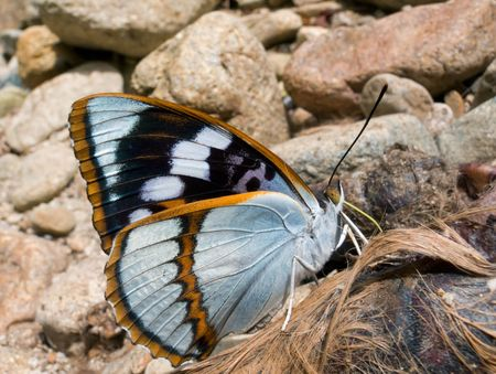beautiful rare: A close-up of the Butterfly (Apatura schrenski). Rare, big and beautiful butterfly. Profile. South of Russian Far East. Stock Photo