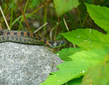 the far east: A close-up of a snake (Tiger water snake) on stone. Russian Far East, Primorye.