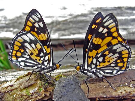 the far east: The pair rare butterflies (Sephisa dicroa princeps) eat. Russian southern Far East, Primorsky Region. Males. Profile.  Stock Photo