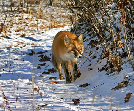 The red fox walks on the path with snow and yellow leaves. Russian Far East, Primorsky Ragion.