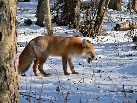 hunted: The red fos is eating a mouse. Winter, snow, evening. Russian Far East, Primorsky Region.