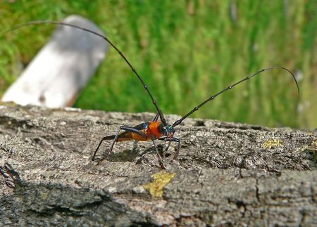 Close up of a capricorn beetle with very long antennas on a tree. Russian Far East. Stock Photo