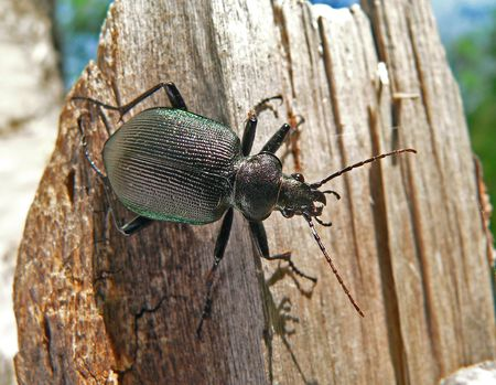 Close up of a brilliant beetle carabus (Calosoma sycophanta) on stub. Russian Far East.
