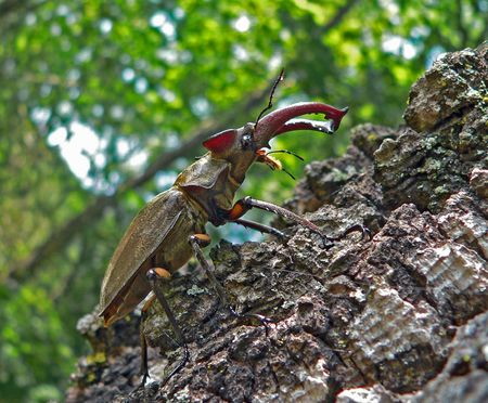 coleopter: A close-up of the stag-beetle. The male on a tree. Profile. Russian Far East, Primorye. Stock Photo
