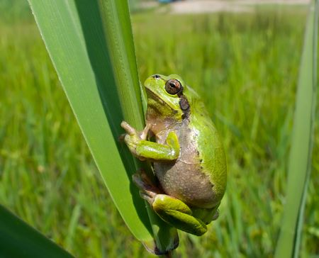 haulm: A close-up of a frog hyla (Hyla japonica) on haulm of cane. Russian Far East, Primorye. Stock Photo
