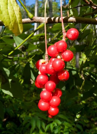 A close-up of the medical berries (Schisandra chinensis). The berries of that liana are vitaminic, tonic, improving immunity and sight and energy. Russian Far East, Primorye.