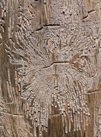 woodsy: A close-up of texture of dry old tree without bark and with the many dints of bark beetles on surface. Russian Far East, Primorye.