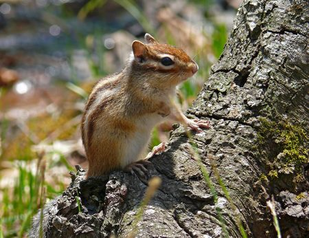 the far east: A close-up of siberian chipmunk (Tamias sibiricus) on tree. Profile. Russian Far East, Primorye. Stock Photo