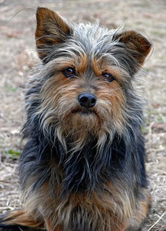 intent: A portrait of the very shaggy small  dog with intent look.  Stock Photo