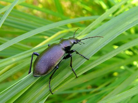 Close up of a brilliant beetle carabus (Calosoma sycophanta) on grass. Russian Far East. Stock Photo