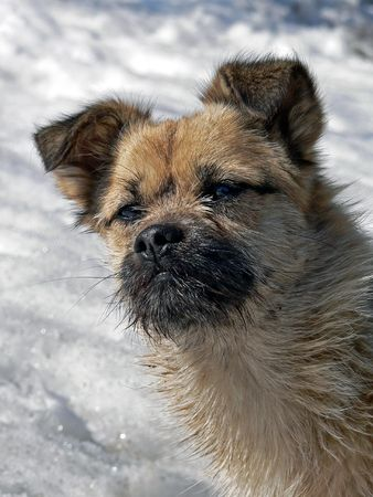 A close-up the small snub-nosed dog with small sparse beard. Sunny day, winter. Stock Photo - 3656200