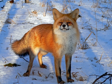 A close up of the red fox. A winter, early sunny evening. Russian Far East, Primorsky region.