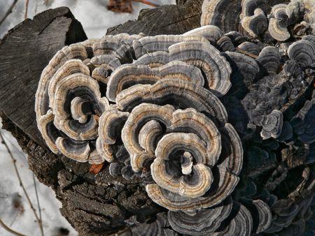 A close-up of the mushrooms (tinder) (Coriolus versicolor) on stump. Russian Far East, Primorsky Region.