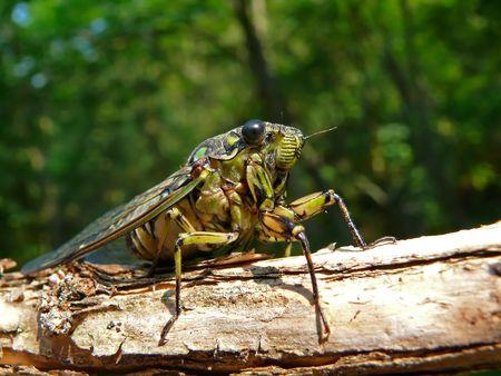 crick: A close-up di una cicala (Tibicen bichamatus) su Wikipedia. A sud di Estremo Oriente russo, Primorye.