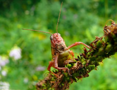 A close-up of a grasshopper with very big teeth on blade of grass. Russian Far East, Primorye. Stock Photo