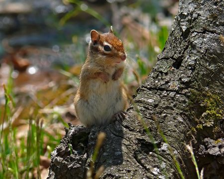 A close-up of siberian chipmunk (Tamias sibiricus) on tree. Russian Far East, Primorye.