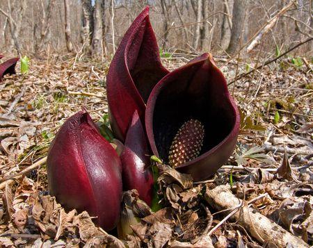 A close up of the rare unusual flowers (Symplocarpus renifolius). Early spring. Russian Far East, Primorye. Stock Photo