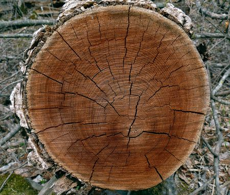 Close up of a cut of a tree with wood of red-brown color. The Russian Far East, Primorsky Region