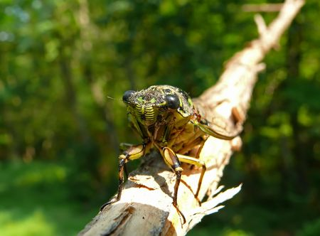 crick: A close-up of a cicada (Tibicen bichamatus) on log. South of Russian Far East, Primorye.