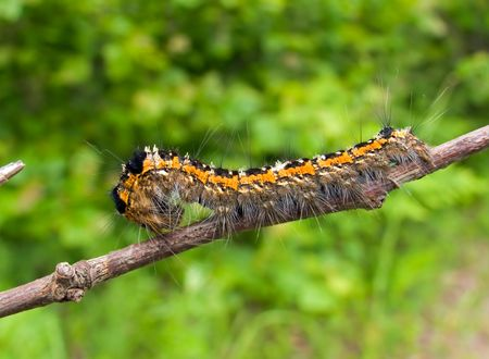 dire: A close-up of the  haired caterpillar on rod.  Russian Far East, Primorye.