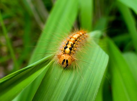 A close-up of the haired caterpillar of gypsy moth on grass-blade. Russian Far East, Primorye.