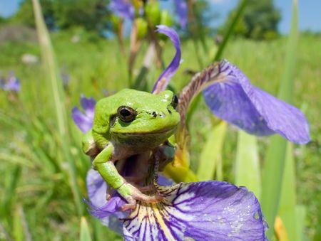 hyla: A close-up of a frog hyla (Hyla japonica) on haulm of iris. Russian Far East, Primorye.