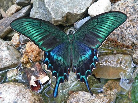 rare: Rare big butterfly Maacks swallowtail (Papilio maackii) from Russian Far East by water. Primorsky Region.