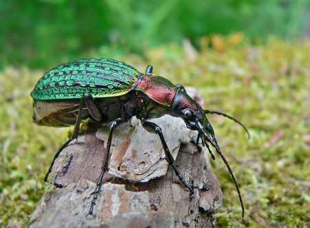 Close up of a rare beetle Schrencks carabus (Carabus shrenckii) from Russian Far East. Profile. Primorsky Region.