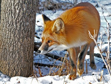 Red fox by a tree. Watchful look. Winter and snow. Russian Far East, Primorsky Region.