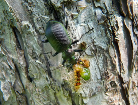 A close-up of the beetle carabus (Calosoma sycophanta) on bark of three. The carabus is eating a caterpillar. Russian Far East, Primorsky Region. Stock Photo