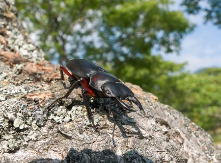 A close-up of a stag-beetle on tree.