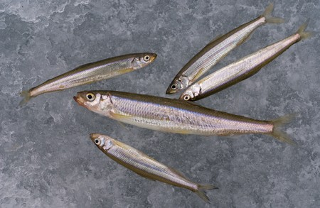 A close-up the fishes smelt on ice of river. Stock Photo