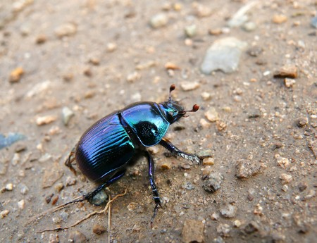 A close-up of the dor-beetle crawling on ground.