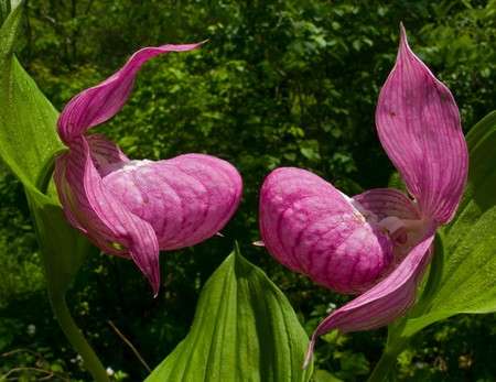 lady's slipper: A close-up of two flowers of orchid ladys slipper among grass.